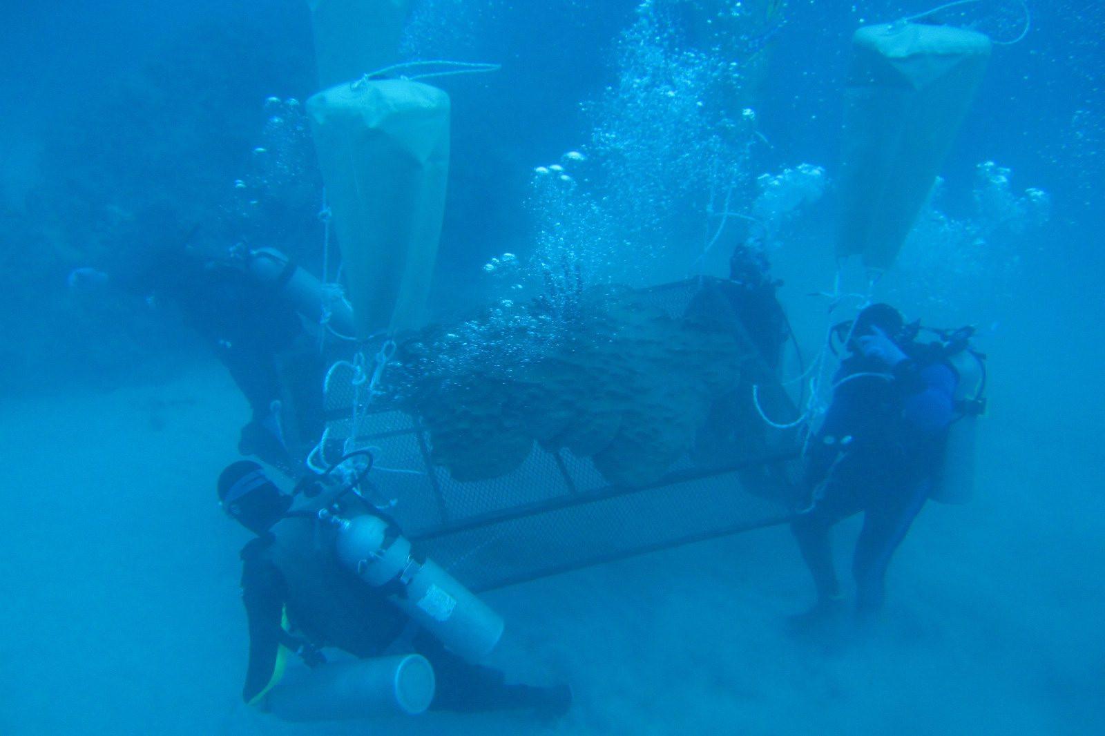 Jamaica coral transplant